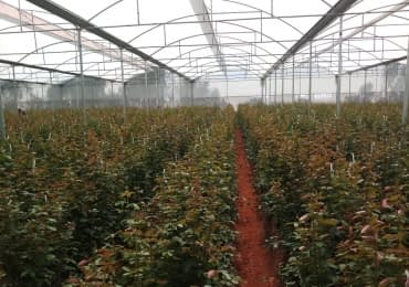 FARM BUSINESS DUTCH ROSES EXPORT Company FOR SALE